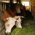 Auch die Kühe bekommen Futter